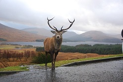 Stag at Rannoch Moor Image by Scozzy from Pixabay